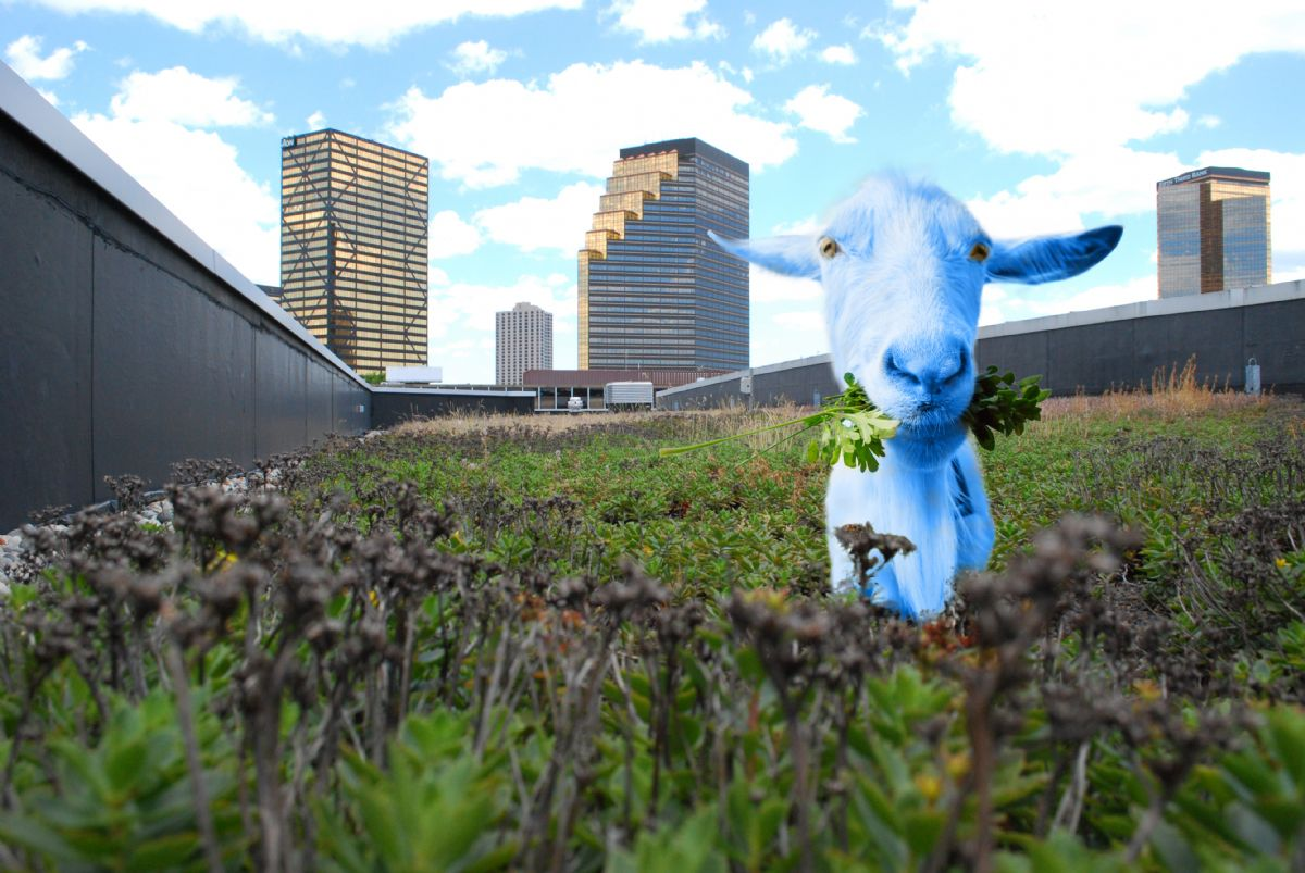 green roof goat